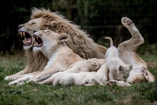 Pasaulio naujienos nuotraukose: Liūtų šeimynėlė privačiame zoologijos sode Čekijos Dvoreco mieste